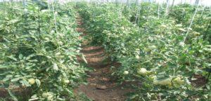 plantas de tomates a Conesa