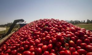 tomate para la industria Conesa