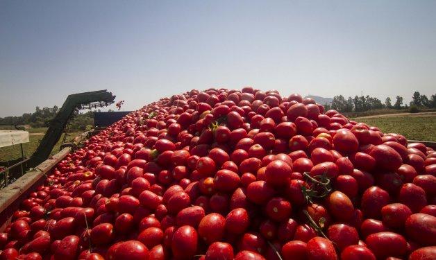 La producción mundial de tomate para la industria desciende un 10 %