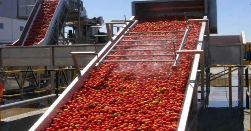 Extremadura se sitúa en los primeros puestos de producción de tomate para industria
